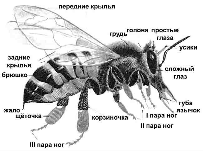 Сообщение о пчелах по биологии для класса Внешнее строение пчелы